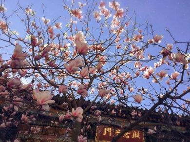 Cerisiers en fleur à Kinming